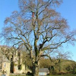 Abbaye d'Hambye, Manche | Bruno Decelle | arboriste grimpeur élagueur